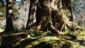 阿里山神木的百年悲情:这些台湾特有的高贵木材,却被运往日本建造神宫与神社