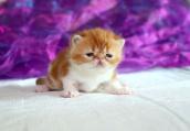 加菲幼猫适合吃哪种猫粮?幼猫吃什么猫粮好