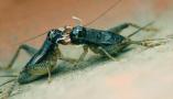 蟋蟀成客商青睐的市场宠儿 最贵能卖一万六