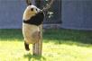 沈阳熊猫首次会客 灵活的胖子冰华竟然上树了