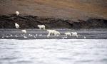 北极熊享用搁浅鲸鱼