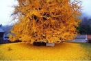 西安网红银杏又黄了