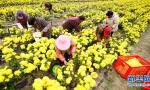 江苏淮安:千亩菊花丰收