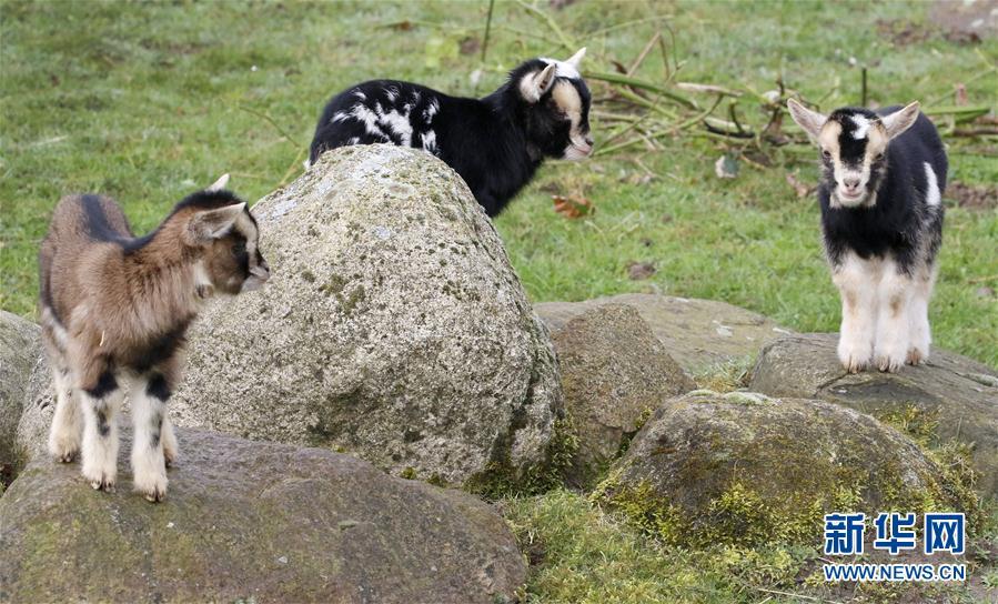 超可爱侏儒羊宝宝