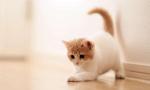 猫爪病的症状是什么?猫奴要留心主子的健康