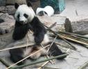 从南方老家来沈阳的4只大熊猫咋样过冬?