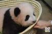 """大熊猫幼崽""""香香""""正式亮相东京上野动物园"""