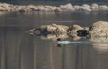 """""""鸟类中的大熊猫""""连续第四年现身丽水九龙湿地!你见过吗?"""