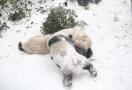 """雪地里,大熊猫变身""""糯米糍"""""""