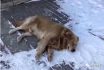 金毛与主人小区内走失 在雪中苦等3天