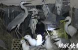 好险!140多只海鸥、夜鹭、灰鹭,正被送往餐桌……