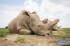 """肯尼亚旅游部长为雄性北方白犀牛""""苏丹""""的墓碑揭幕"""