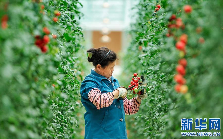 在江西全南县江禾田园蔬菜智能中心,工人在蔬菜立体种植架之间采摘无土栽培的圣女果(4月24日摄)。