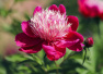 扬州占地1400亩的芍药园迎来盛花期