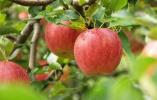 苹果期货市场调查:疯狂背后是忧伤的果农