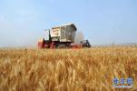我国杂交小麦丰产优势明显 可增产20%以上