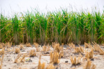 独家揭秘!袁隆平团队如何在迪拜沙漠种出水稻?