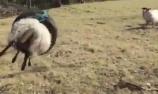 绵羊被困轮胎中荡秋千