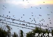 """看,八哥!这里的鸟群可以""""遮蔽天空"""""""