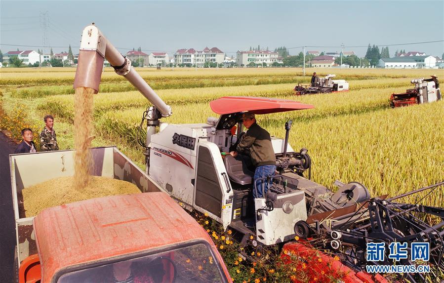 10月30日,浙江省诸暨市王家井镇新南村村民在收获水稻(无人机拍摄)。 新华社发(徐德文 摄)