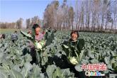 太康徐庄:500亩蔬菜产业