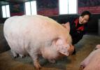 猪肉将出现供应危机?放心!供给有足够保障