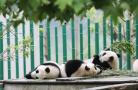 卧龙成为首个国家级大熊猫自然保护区!
