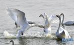 三门峡:白天鹅湖边翩翩舞