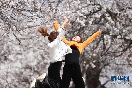 河南灵宝:百年古杏树 花开满山春