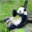 南京这对熊猫兄弟