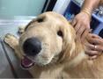 好可怜!狗狗被蜜蜂咬后脸变成这样了