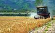 关中灌区小麦喜