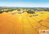 好美!空中俯瞰铜山区茅村的麦田
