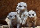 日本千叶动物园新出生三只小猫鼬