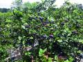 走,吃蓝莓去!南京溧水1.5万亩蓝莓等你来摘