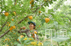 文安:百果挂枝头 开园喜丰收
