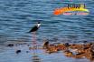 【我说创城新变化】鸡泽加强生态水系保护 浅水湿地引来珍稀水鸟