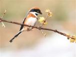 中国最小鸟类现身 南京紫金山植物园