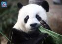 盼盼原型大熊猫去世