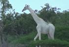 肯尼亚现纯白长颈鹿