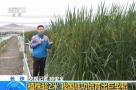 """水稻底下能乘凉?我国成功培育2米高""""巨型稻"""""""