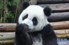 大熊猫卖萌犯规!