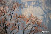 河南山村的初冬:野柿红满枝 小米焖饭飘香