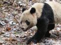 熊猫结伴回家