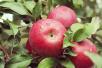 一损俱损 吃腐烂苹果全靠自身免疫抵抗霉素