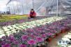 衡水邓庄推动花卉产业升级 带动农民致富增收