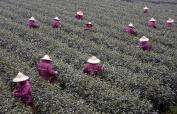 杭州西湖龍井春茶開始大面積採摘