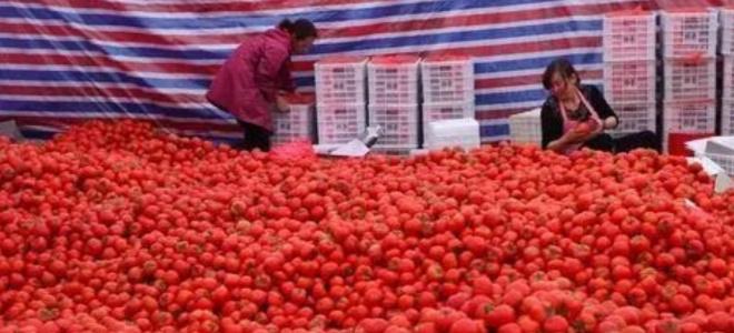 溫州蒼南近6萬噸番茄滯銷農戶含淚賤賣,網友:幫幫他們吧!