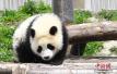 """成都多只大熊猫遭遇""""黑眼圈变白"""" 医学专家正会诊"""