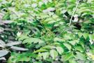 您见过吗?郑州植物园海南黄花梨第一次开花